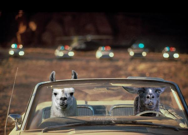 Where dat Llama go?  Funny tweets about The Great Llama Escape